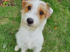 6 Month old Jack Russell Puppy