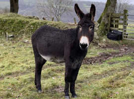 Jack donkey for sale