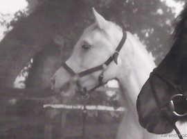 Sasha - Pretty silver grey Arab mare for loan as companion only
