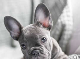 **Wanted** french bulldog