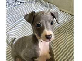 generation Italian Greyhound Ppups