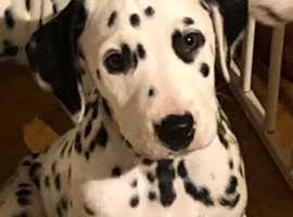 Beautiful Dalmatian boy