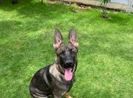 Sable 6 Month Old Puppy