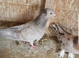 Almond pigeon for sale