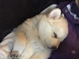 Two Chowski/ Shepherd Pups