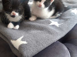 2 beautiful kittens left for sale