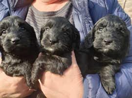 5 beautiful F1 puppies