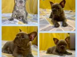 Stunning kc registered blue frenchies