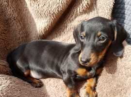 Pedigree Dachshund Puppies - 2 left