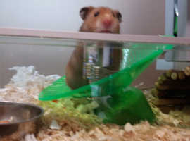 ***WANTED:***Syrian Hamster
