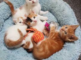 TURKISH ANGORA MIXED KITTENS READY!