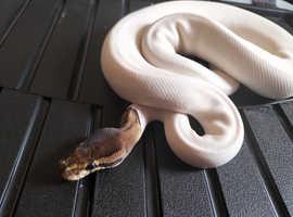 3 royal pythons for sale