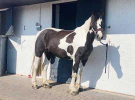 16.1 ISH mare