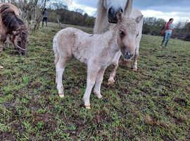 IMPHS registered colt mini Shetland foal