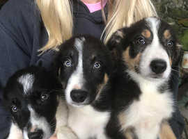 3 sheepdog pups