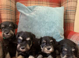 KC registered, health tested. Miniature schnauzers