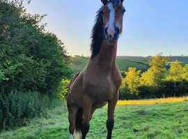 Beautiful Welsh Section D filly - 2 year old