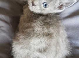 Laperm x kittens