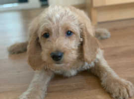 F1 Miniature labradoodle puppies ready now