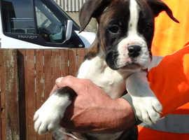 6 stunning boxer  puppies