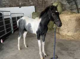 6 month old filly