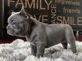 KC registered Pedigree Blue French Bulldog Puppies Available for champion bloodline frenchies ready for forever homes