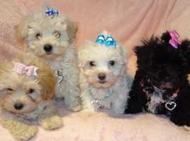Find Maltipoo Dogs (Maltese cross Poodle) For Sale in B77