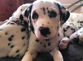 2 Gorgeous Dalmatian puppies for sale!