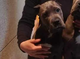 Cane Corso 4 Months Blue Female Import
