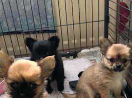Beautiful KC Home Reared Longcoat Puppies.