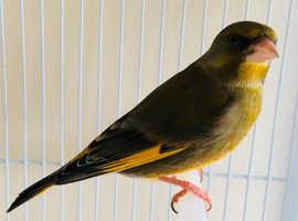 male green finch for sale