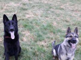 Black German shepherd (Stud only)