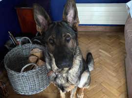 KC registered 14month Sable German Shepherd