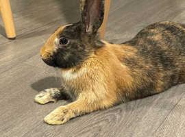 Dwarf rabbit for sale