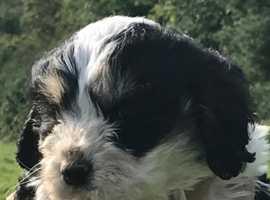 Black and White Cavachon Pups