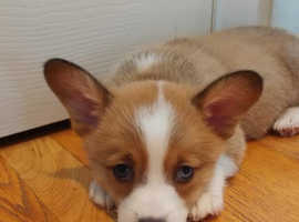 *Ready to go* *Fully vaccinated* KC registered Welsh Pembrokeshire Corgis looking for 5* homes