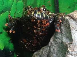 Fire bellied toads.