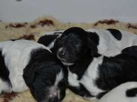 Large munsterlander puppies