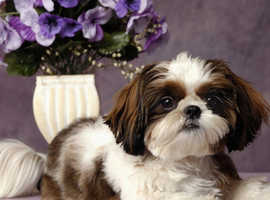 Wanted Puppy!!!! Small dog breed (Shih Tzu, Yorkshire terrier, Pug ETC)