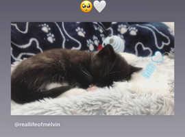 Newborn Tuxedo girl kitten