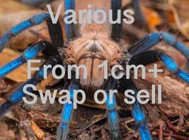 Various tarantulas