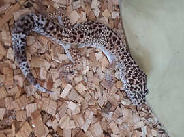 Gecko to rehome