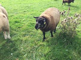 Blue texel ram lambs