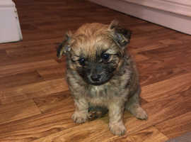 3 stunning Pom-chis for sale