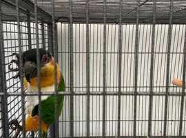 Male caique parrot