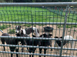 Very well bred Greyhounds pets