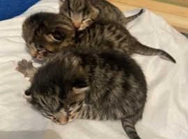 SOLD .... Smokey Egyptian Mau X kittens