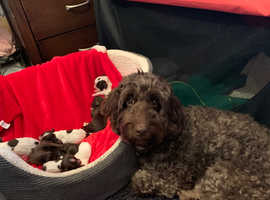 Stunning F2 Cockapoo puppies