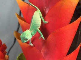 Baby yeman chameleons ready now