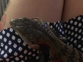 Indonesian blue tongued skink